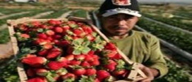 حضر استيراد الفراولة من مصر
